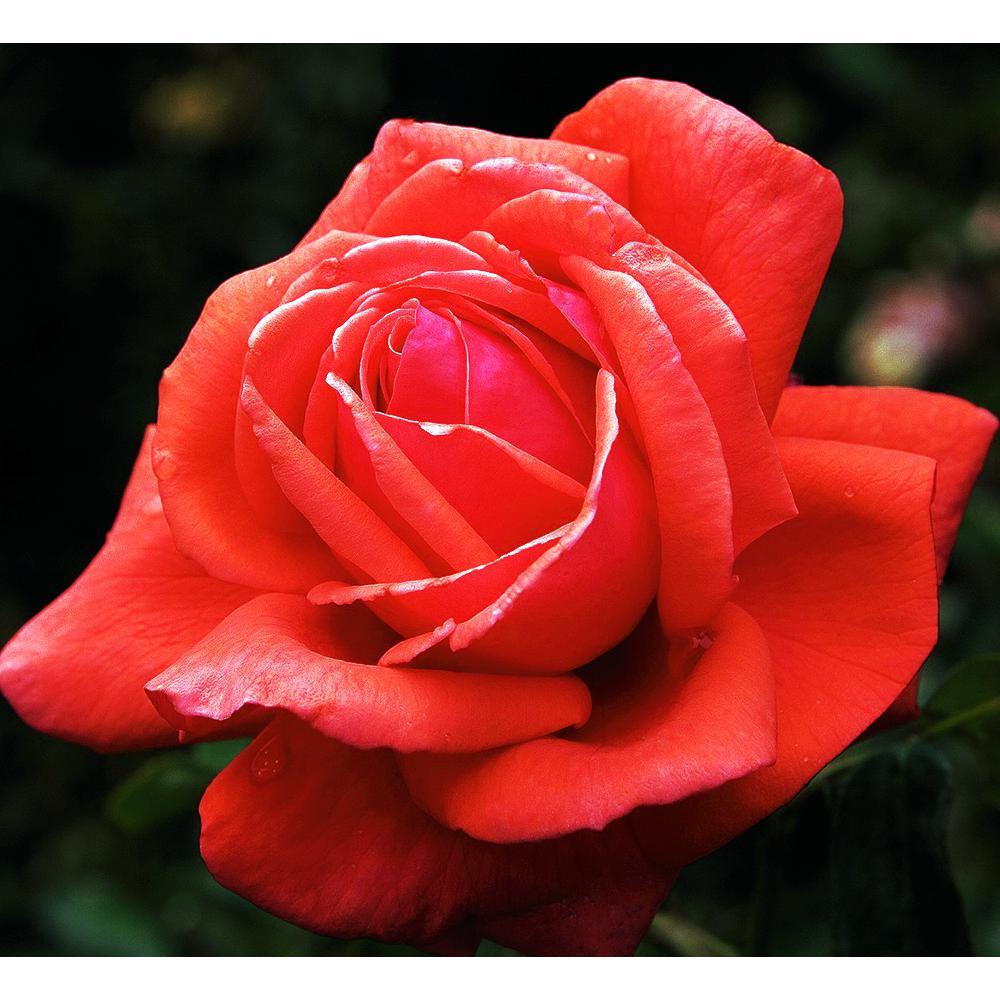 Fragrant Coral Fragrant Cloud Hybrid Tea Rose Plant