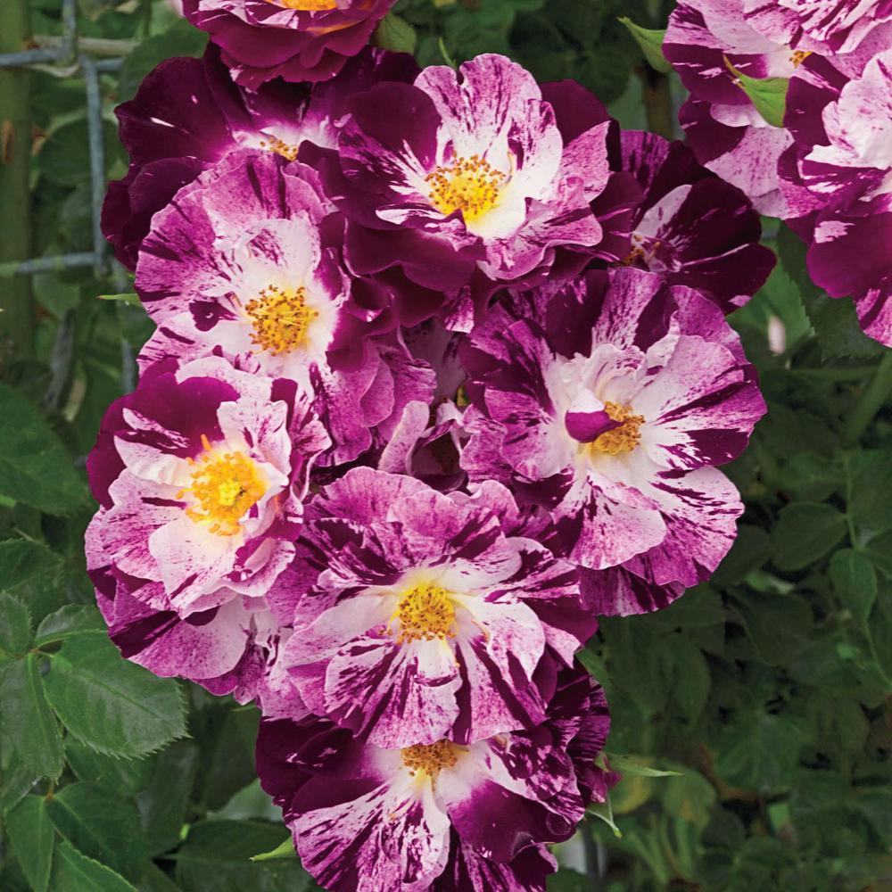 Spring Hill Nurseries Purple Splash Climbing Rose Live Bareroot