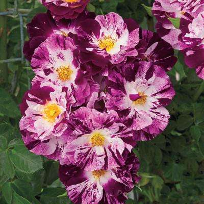 Purple Splash Climbing Rose, Live Bareroot Plant, Purple and White Color Flowers (1-Pack)