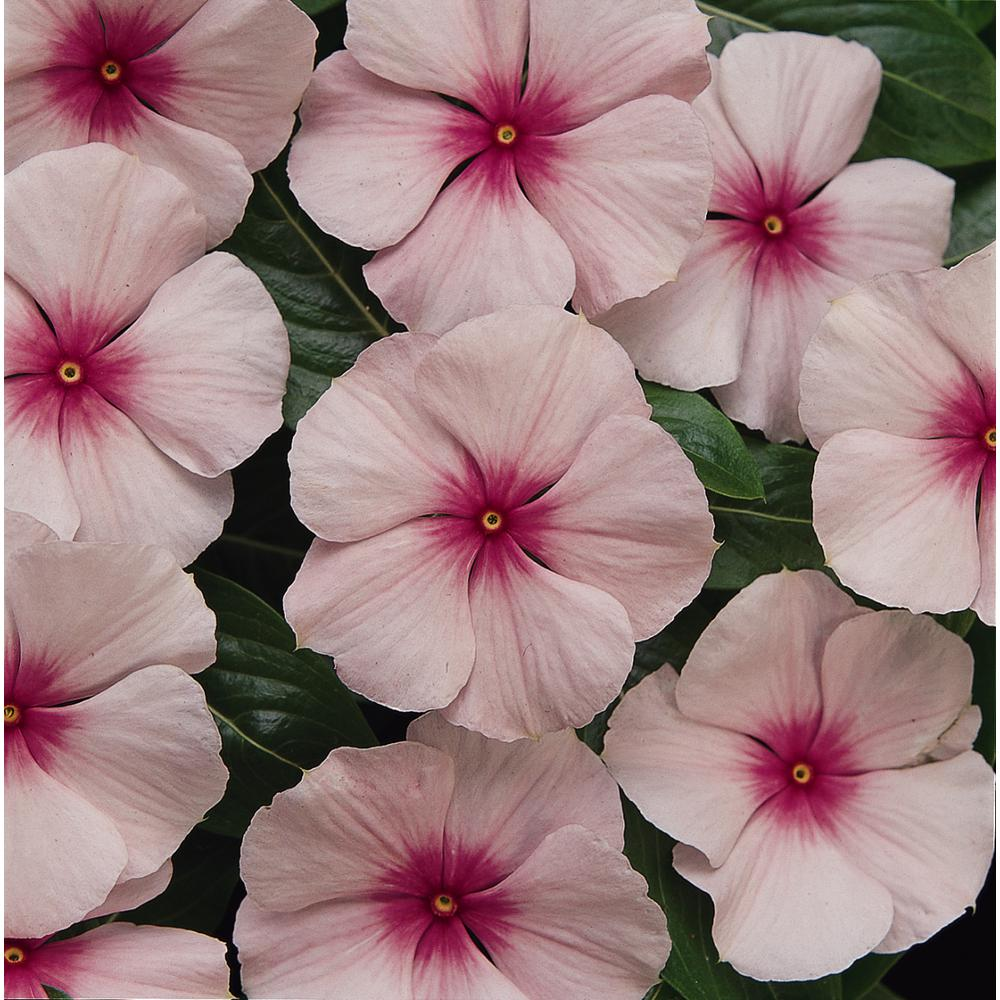 4 in. Pink Vinca Plant (Pack of 6)