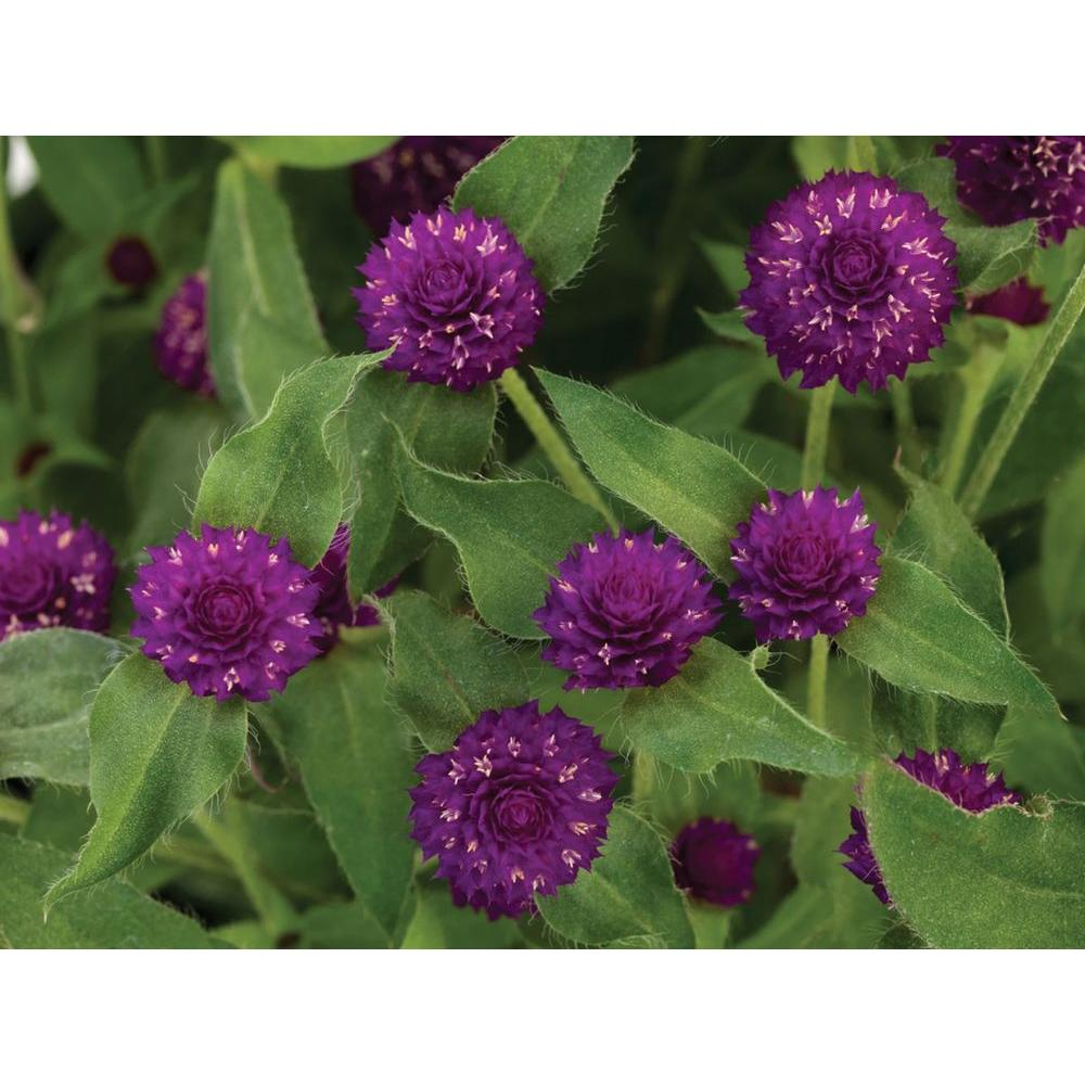 Proven Winners Lil Forest Plum Bachelor Button Gomphrena Live