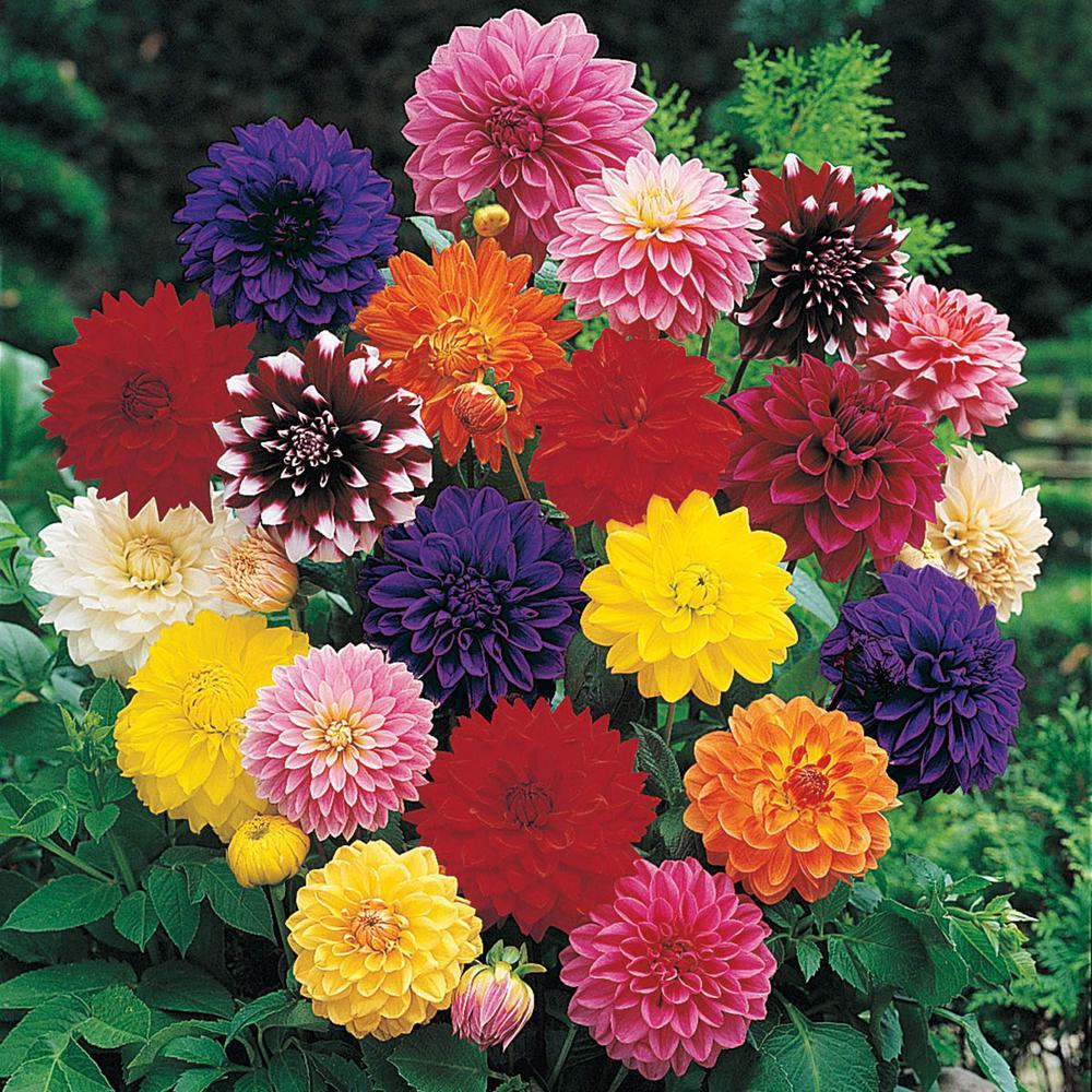 Breck's Multi-Color Flowers Decorative Dahlia Bulb Mixture ...