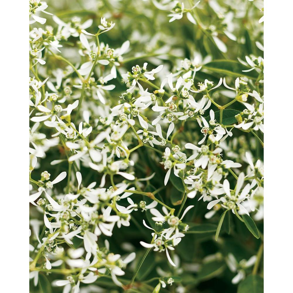 Proven Winners Diamond Frost (Euphorbia) Live Plant, White Flowers, 4.25 in. Grande