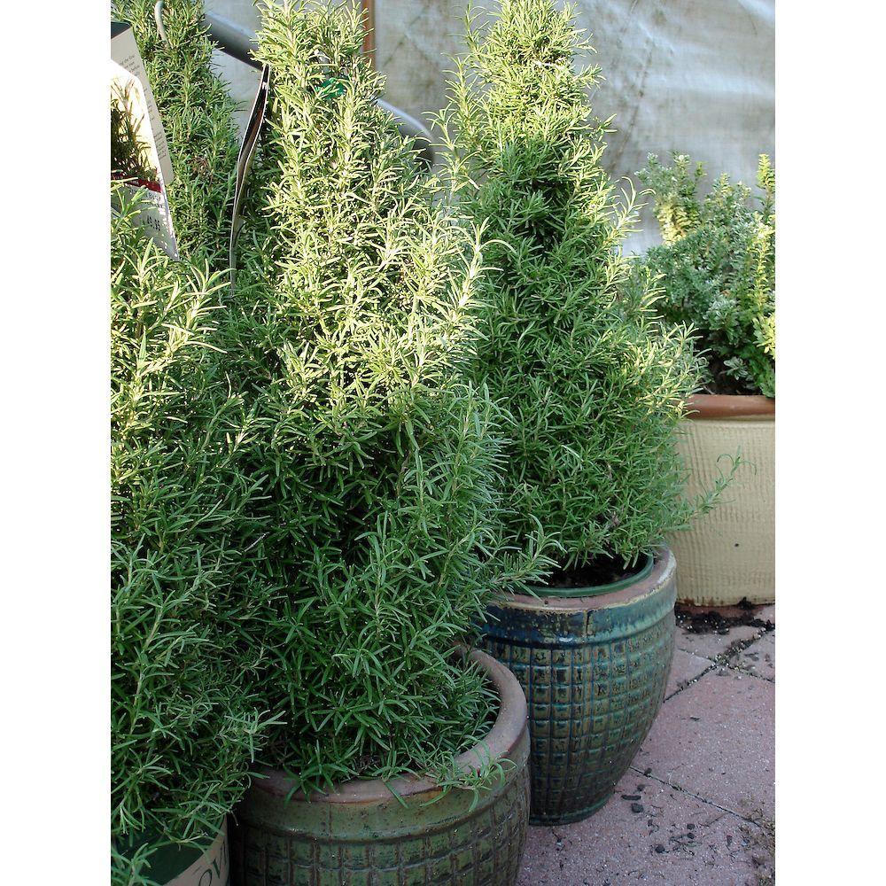 5 in. Rosemary