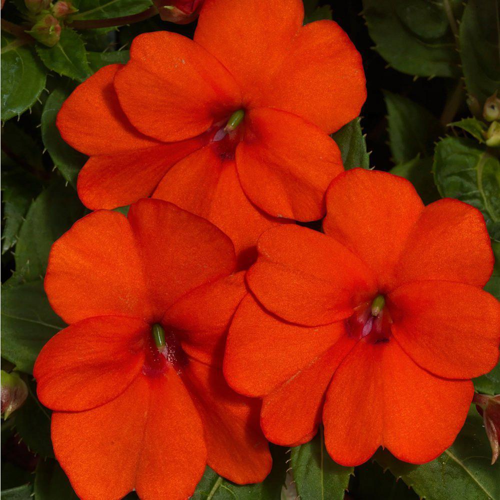 2 Gal. Sunpatien Impatien Plant Orange Flowers in 12 In. Hanging Basket