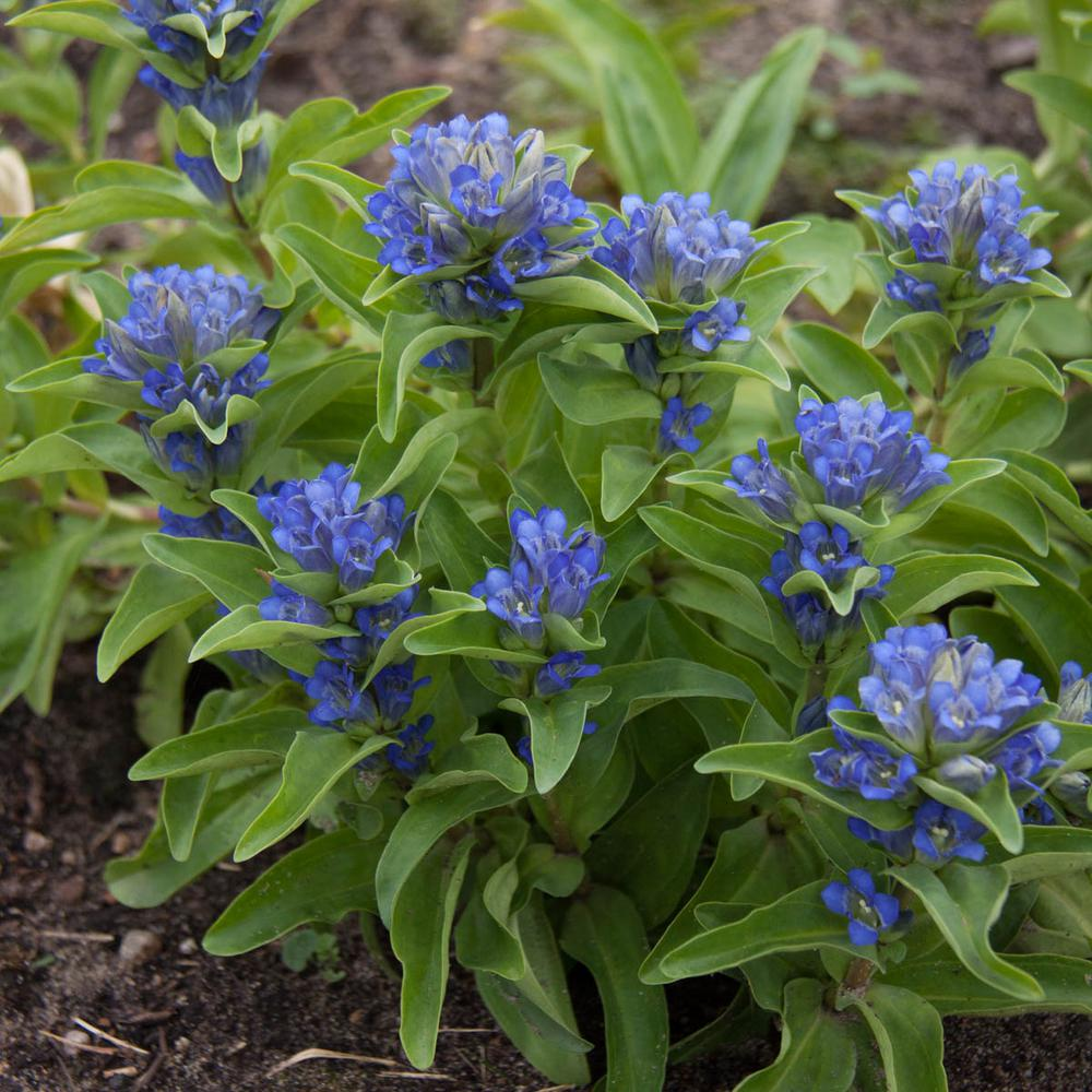 Pot Blue Flowers Cross Gentian Live Potted Perennial Plant (1-Pack) & Spring Hill Nurseries 2 in. Pot Blue Flowers Cross Gentian Live ...