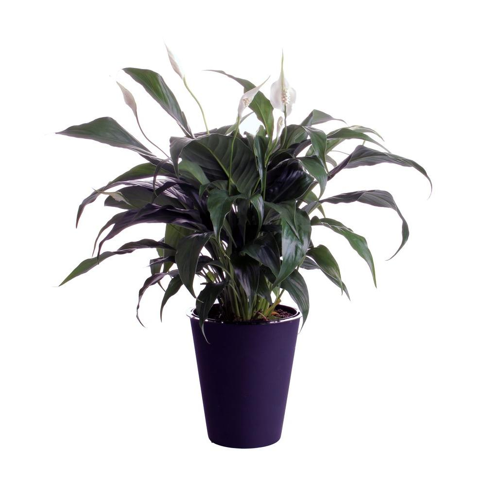 waterwick 6 in spathiphyllum peace lily in self watering pot spath6wwhd the home depot. Black Bedroom Furniture Sets. Home Design Ideas