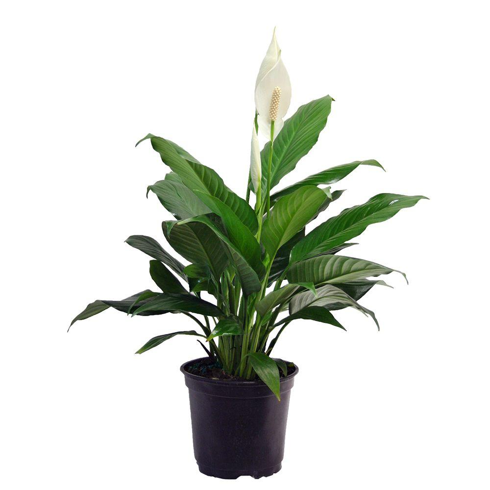 delray plants spathipyllum with white flower in 6 in pot 6spath the home depot - White Flowering House Plants