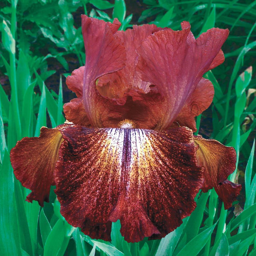 Paprika Fono's Reblooming Iris Reddish-Brown Yellow and White Flowers Live Bareroot Plant
