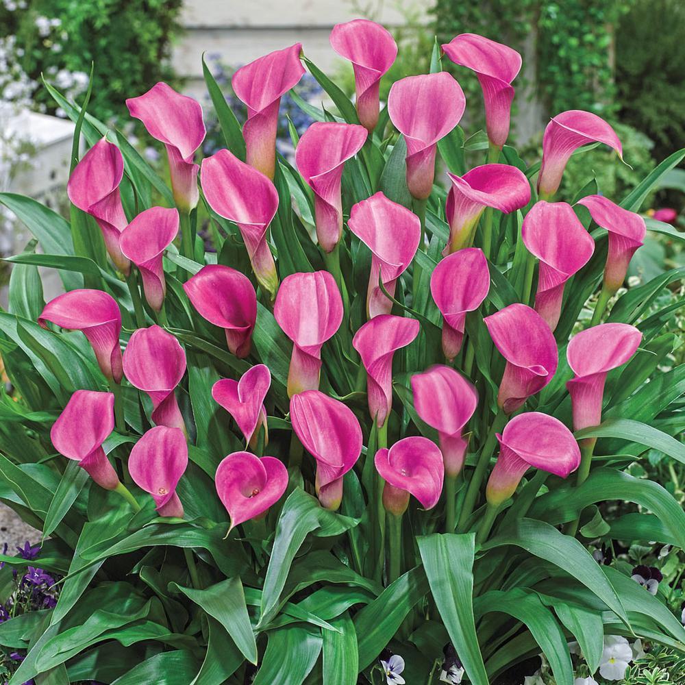 Pink Flowers Garnet Glow Calla Lily Bulbs (5-Pack)