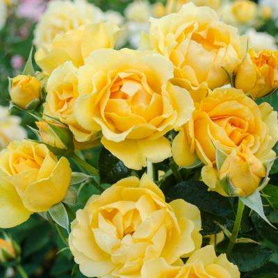Julia Child 24 in. Tall Tree Rose, Live Bareroot Plant, Yellow Color Flowers (1-Pack)