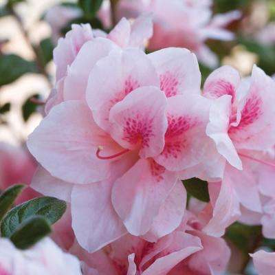 1 Gal. Autumn Chiffon - Dwarf Evergreen Re-Blooming Shrub with Bicolor(White and Pink) Blooms