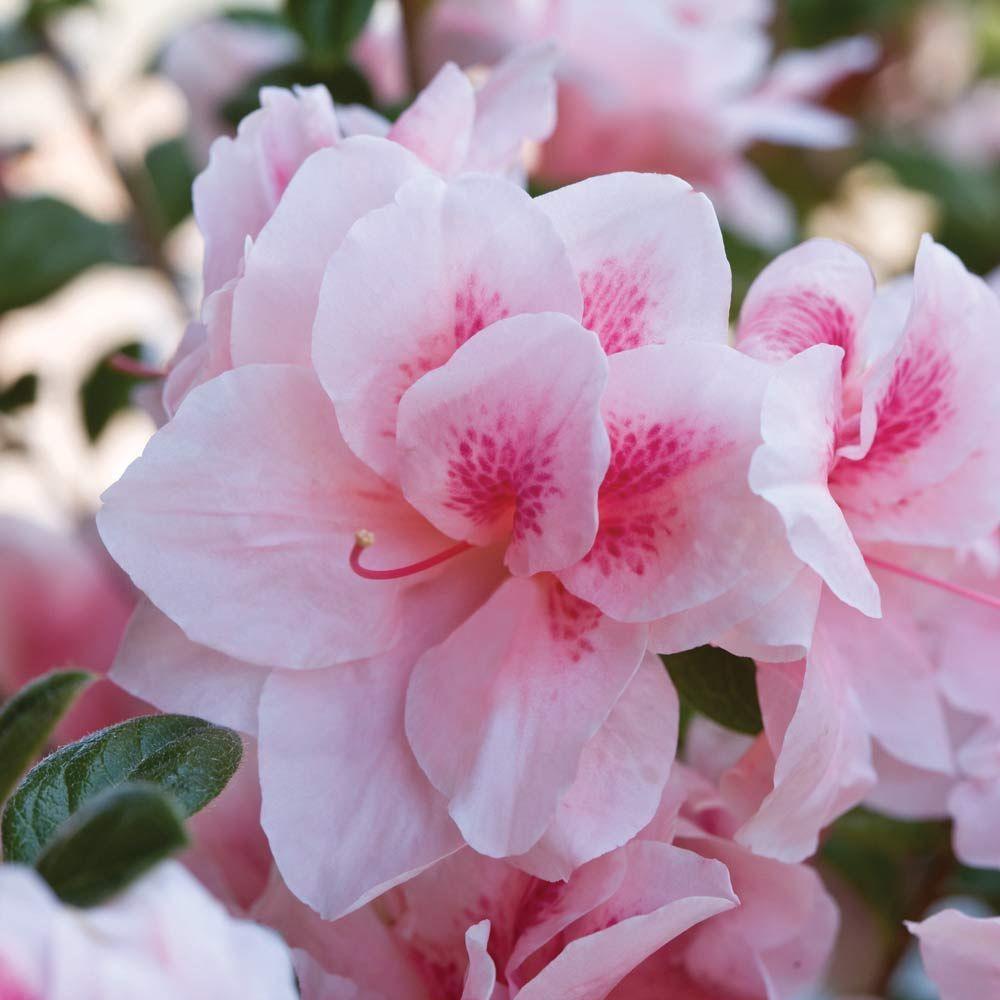 1 Gal. Autumn Chiffon Encore Azalea Shrub with Bicolor White and Magenta Pink Reblooming Flowers