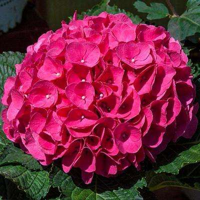 4 in. Pot Glowing Embers Hydrangea, Live Deciduous Plant, Red Flowers (1-Pack)