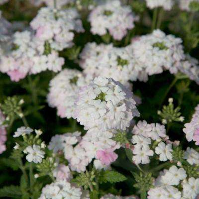 2.5 Qt. Endurascape White Blush Verbena - Perennial Plant with Clusters of Small White Blooms