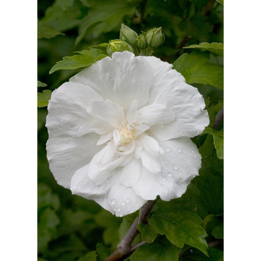 3 Gal. White Chiffon Rose of Sharon (Hibiscus) Live Shrub, White Flowers