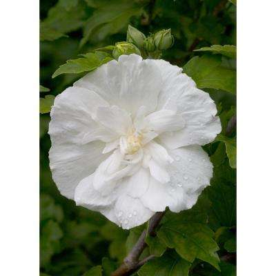 1 Gal. 4.5 in. qt. White Chiffon Rose of Sharon (Hibiscus) Live Shrub, White Flowers