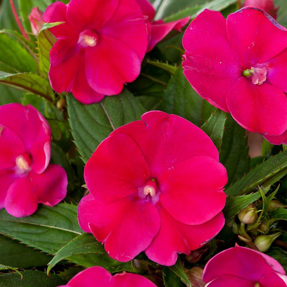 SunPatien Magenta Impatien Plant (18-Plants)