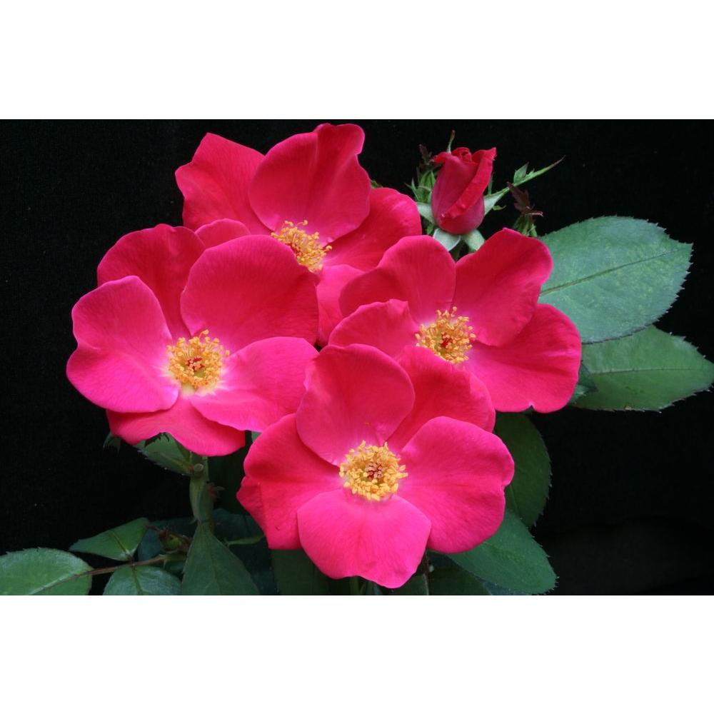 Proven Winners Pink Homerun ColorChoice Rosa 4.5 in. Quart
