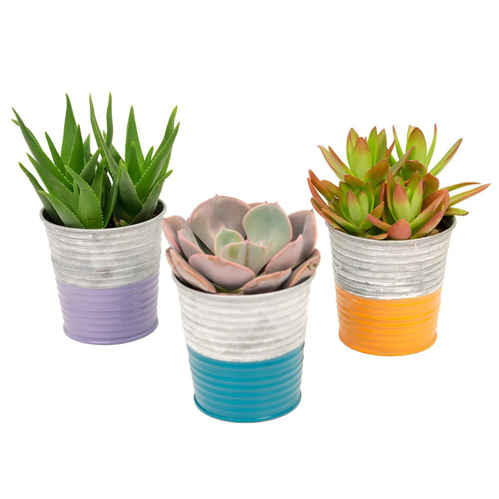 3.5 in. Assorted Succulents in a Neon Stripe Galvanized Tin (3-Pack)