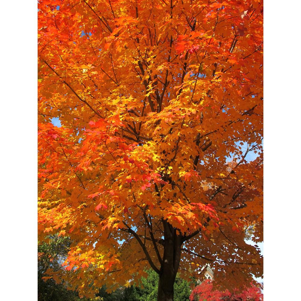Online Orchards Sugar Maple Tree Shsm002 The Home Depot