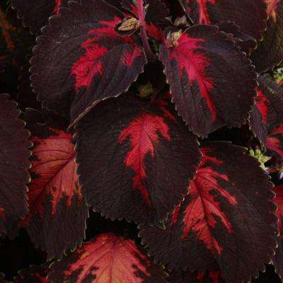 ColorBlaze Kingswood Torch Coleus (Solenostemon) Live Plant, Bright Pink and Deep Purple Foliage, 4.25 in. Grande