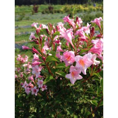 4.5 in. Quart Sonic Bloom Pure Pink (Weigela) Live Shrub with Pink Flowers
