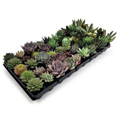1.75 in. Succulent Mix (50-Plants)
