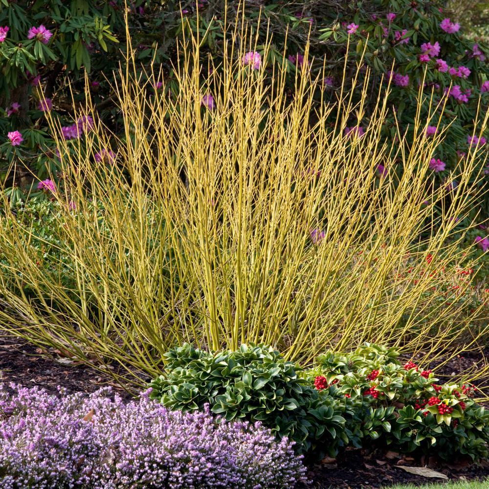 Spring Hill Nurseries Yellow Twig Dogwood Cornus Starter Hedge