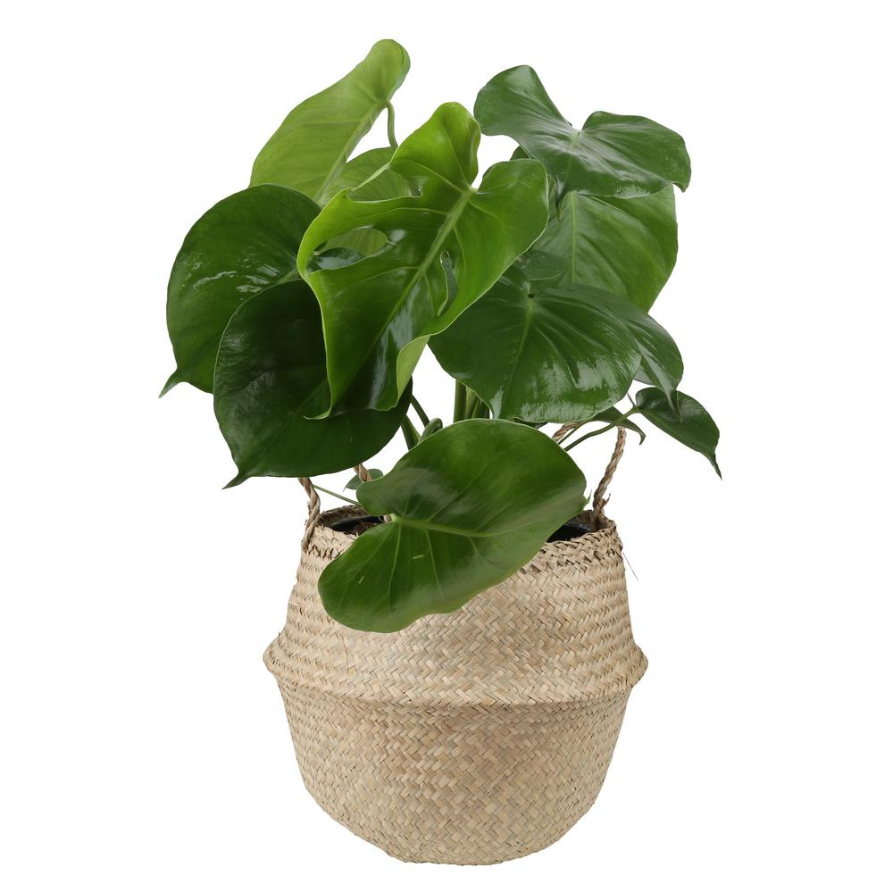 Costa Farms Monstera Deliciosa Swiss Cheese Plant in 9.25 in. Seagr on rhapis house plant, anubias house plant, colocasia house plant, iris house plant, dracaena house plant, avocado house plant, carnation house plant, fig house plant, lantana house plant, split leaf philodendron house plant, coleus house plant, scindapsus house plant, filarum house plant, gypsophila house plant, hoya house plant, camellia house plant, crassula house plant, bromeliads house plant, acacia house plant, papaya house plant,