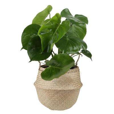Monstera Deliciosa Swiss Cheese Plant in 9 25 in  Seagrass Basket
