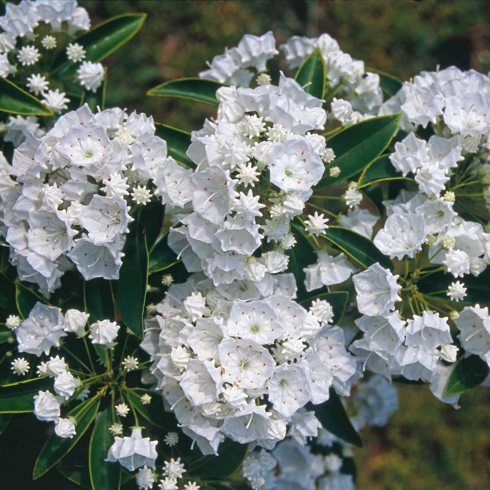 Spring hill nurseries 25 qt pristine mountain laurel kalmia spring hill nurseries 25 qt pristine mountain laurel kalmia live broadleaf evergreen mightylinksfo