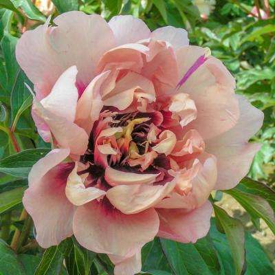 4 in. Pot Itoh Peony Oochigeas (Paeonia) Live Potted Perennial Light Orange/Pink Flowers