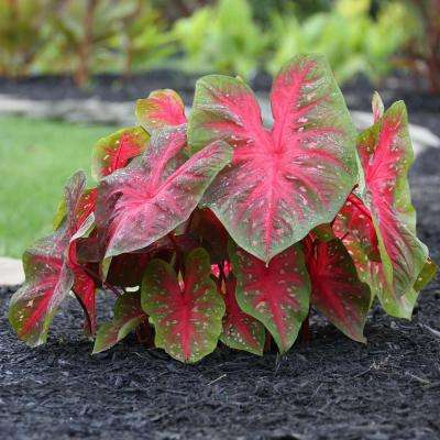 Upright Elephant Ear/Red Flash Caladium Bulbs Container Collection (14-Pack)