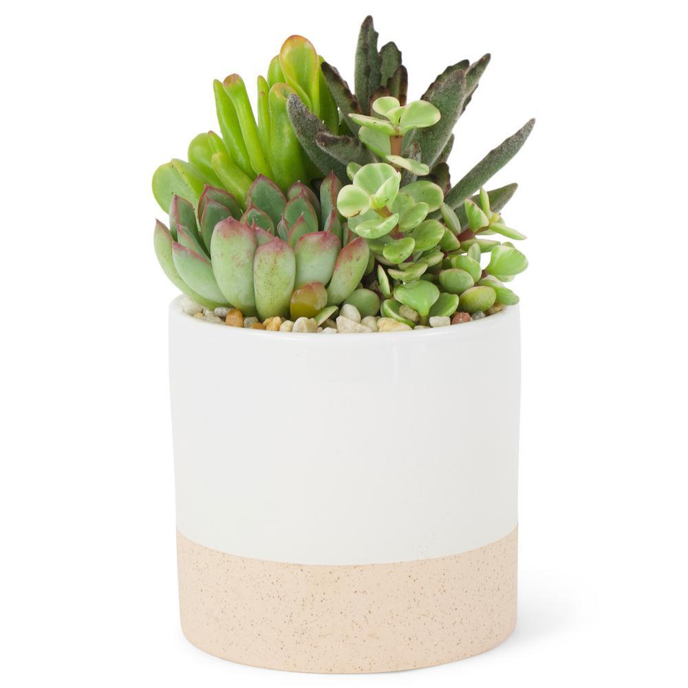 Succulent Plant Combo in 4 In. Ceramic Pot