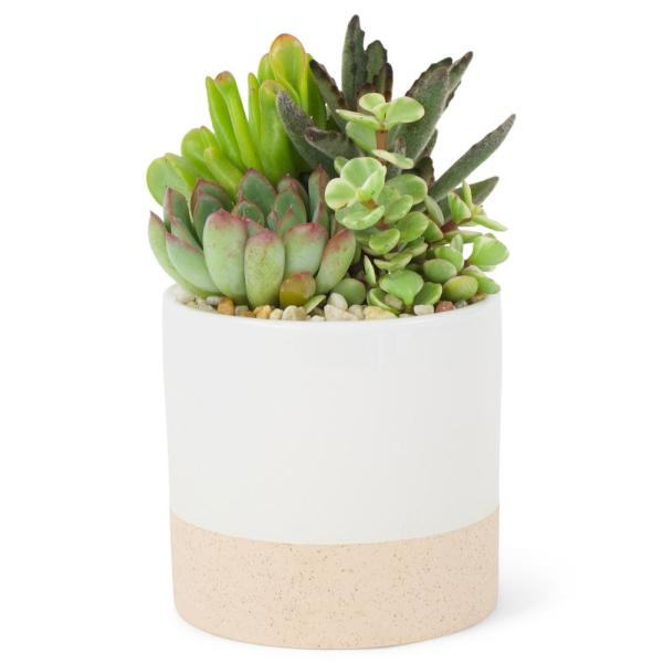 1.38 Pt. Succulent Plant Combo in 4 In. Ceramic Pot
