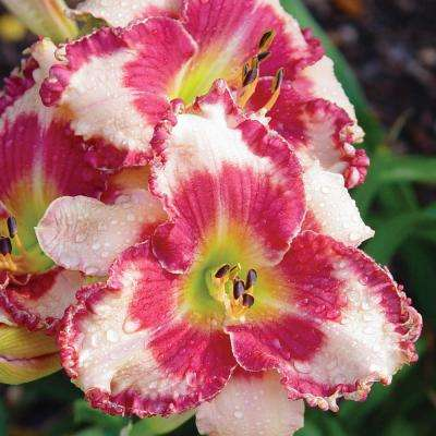 Dare to Love Daylily Hemerocallis, Live Bareroot Perennial Plant in White Flowers (3-Pack)