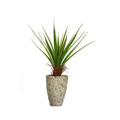 58 in. Tall Agave Plant with Cocoa Skin in 16 in. Fiberstone Planter