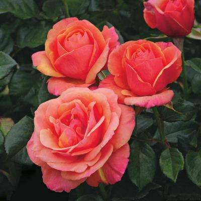 Anna's Promise Downton Abby Hybrid Tea Rose, Live Bareroot Rose, Pink and Yellow Color Flowers (1-Pack)