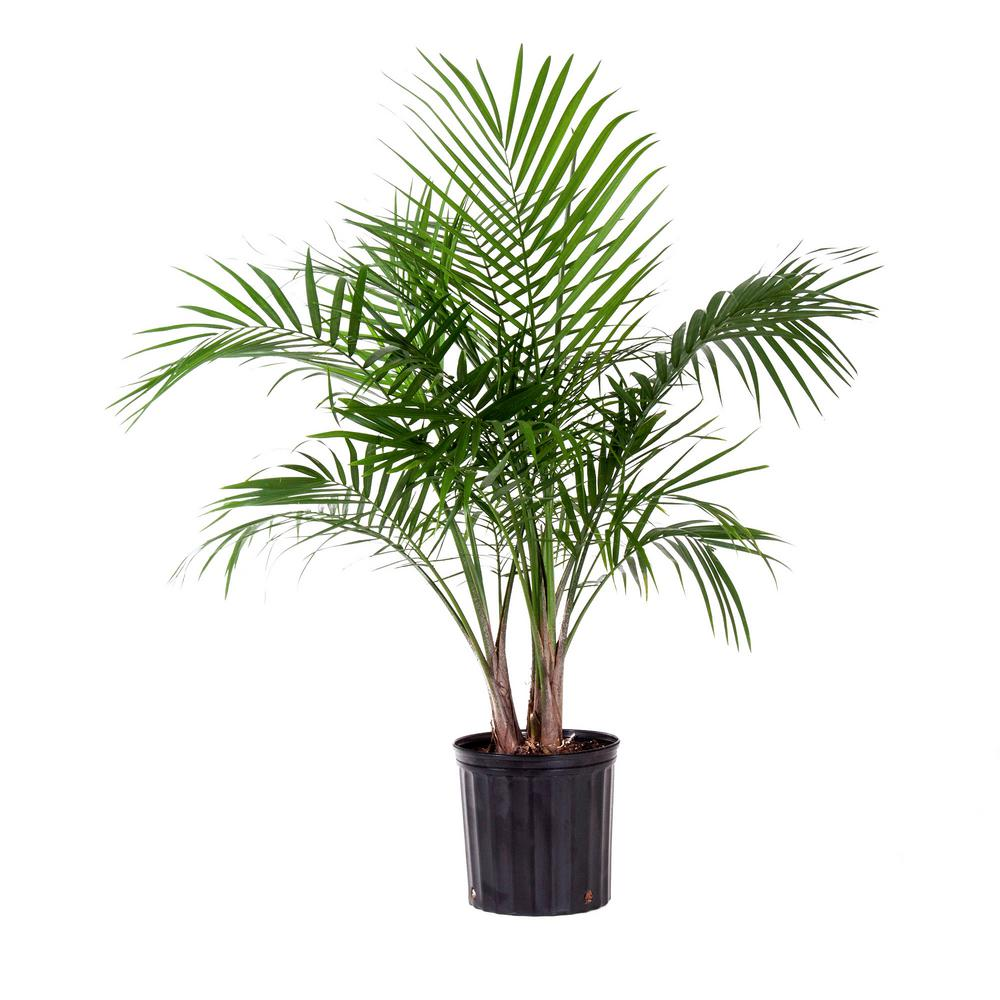 United Nursery Majesty Palm Plant In 9 25 In Grower Pot 20736 The Home Depot
