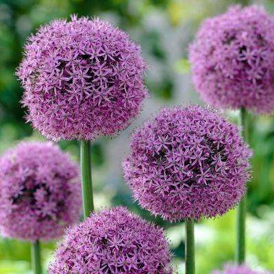Allium Gladiator Flower Bulb (2-Pack)