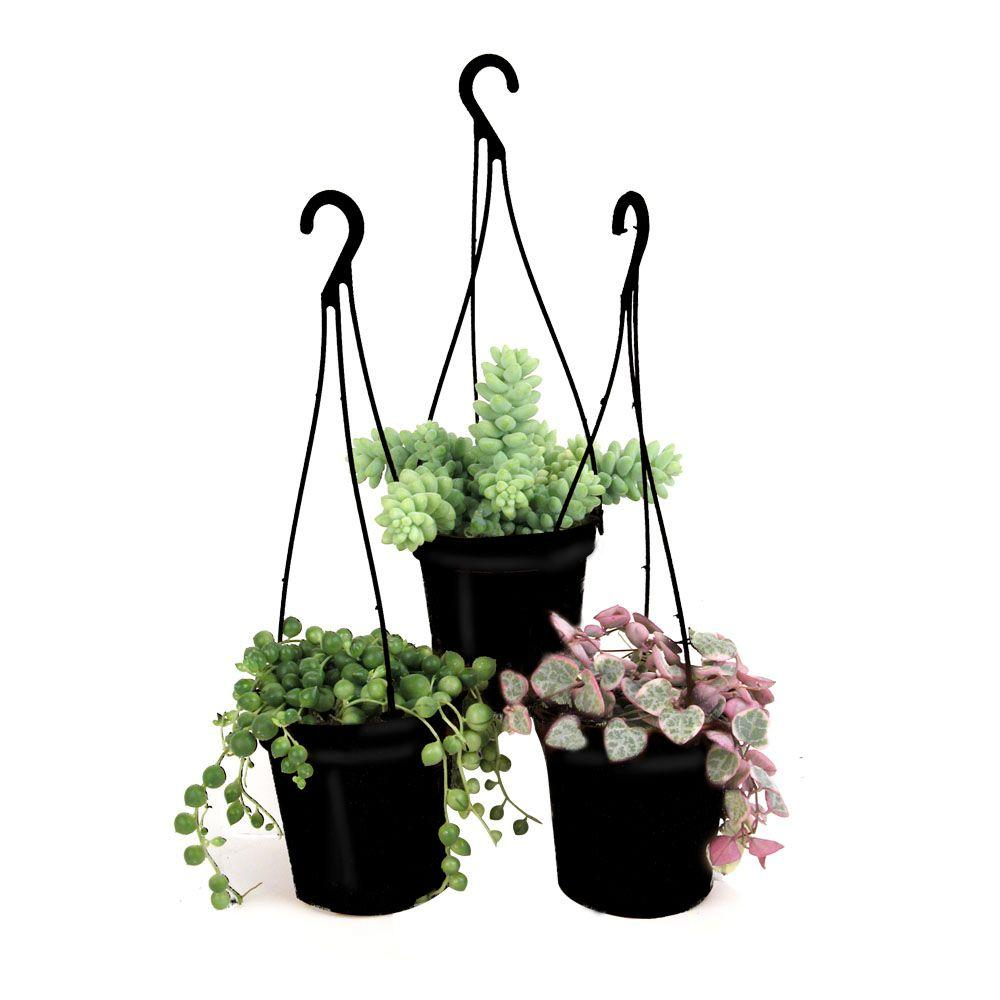 3 5 In Assorted Succulent Hanging Basket 3 Pack 0881006