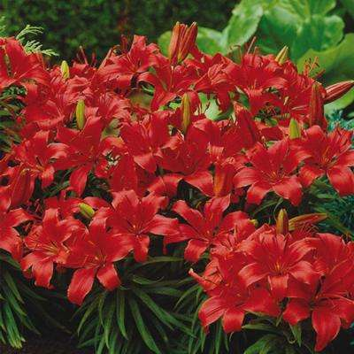 Border Lily Bulbs (10-Pack)