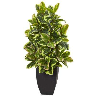 50 in. Rubber Plant with Black Wash Planter