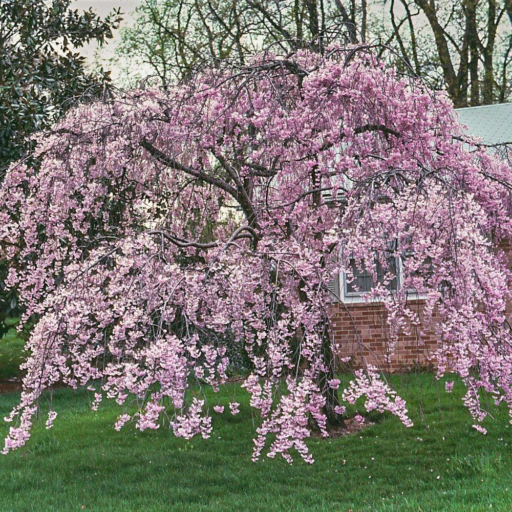 Spring Hill Nurseries Weeping Pink Flowering Cherry Prunus Live