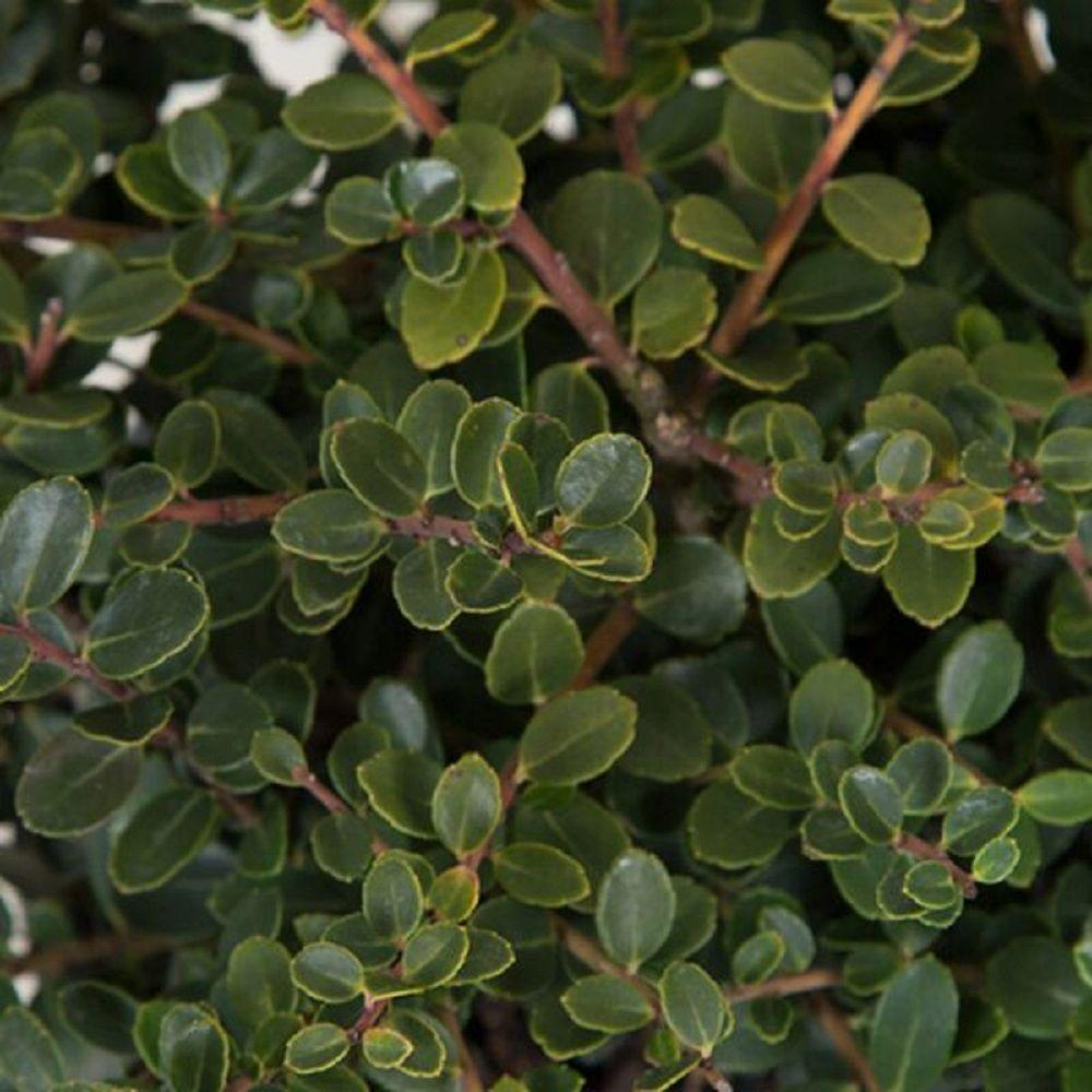 evergreen shrubs trees bushes the home depot