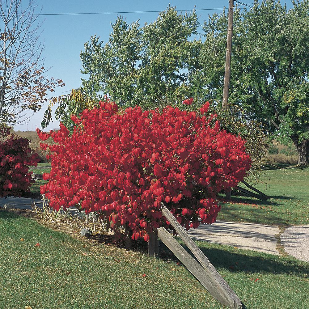 Cottage Gardens 3 Gal. Dwarf Burning Bush Euonymus Shrub