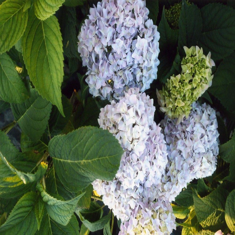 OnlinePlantCenter 1 gal. Nikko Blue Hydrangea Shrub