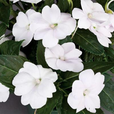 1 Qt. SunPatiens White Impatien Outdoor Annual Plant with White Flowers in 4.7 In. Grower's Pot (8-Plants)
