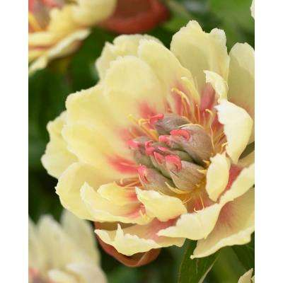 Yellow perennial flower bulbs garden plants flowers the border charm peony roots mightylinksfo Gallery